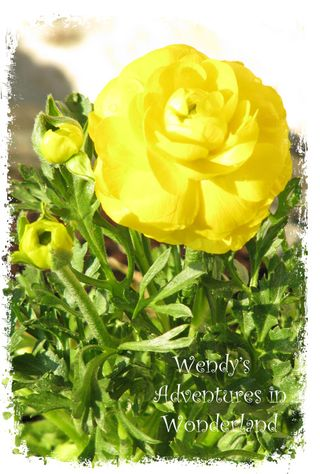 Yellow ranunnculus in pot 1
