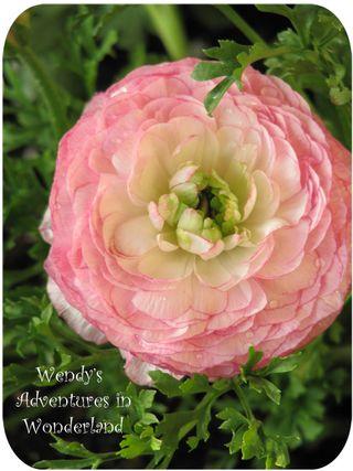Baby pink rennunculus