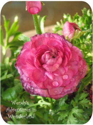 Hot pink renunnculus pic 1